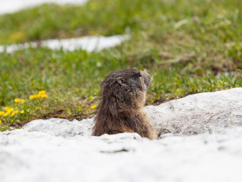 Murmeltier im Nationalpark Berchtesgaden